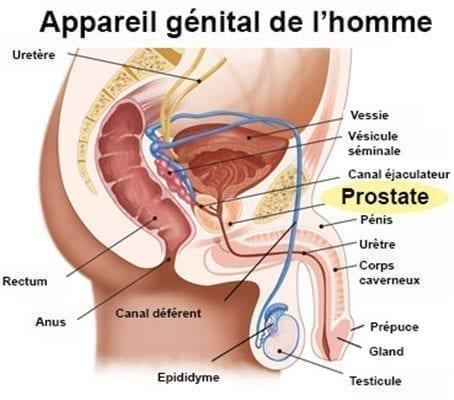 appareil génital masculin et prostate