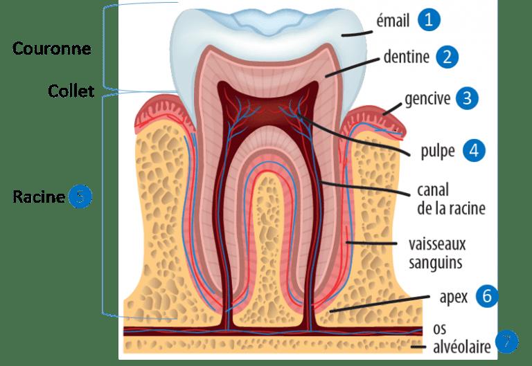 anatomie dent